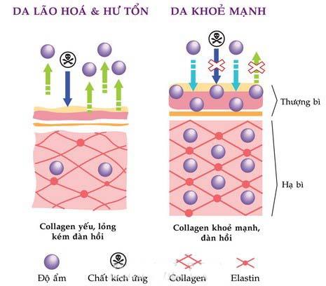 Sự cần thiết của Collagen với da và cơ thể