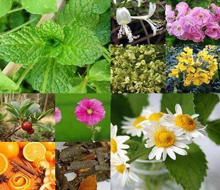 Những loại thảo mộc trong sản phẩm Nature's Tea