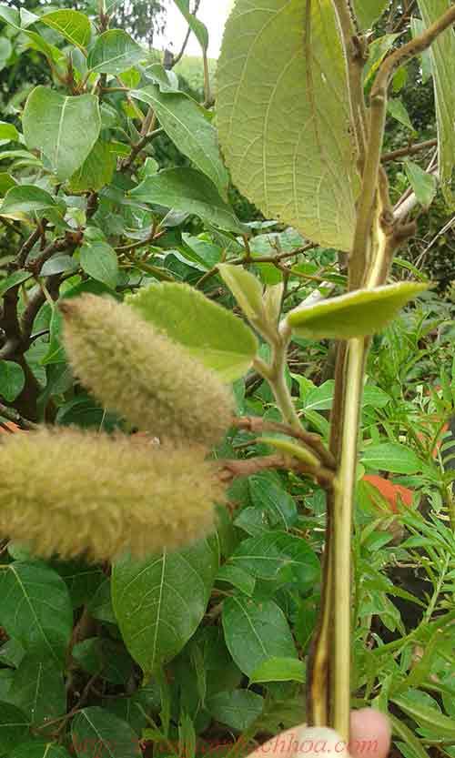 Quả và lá cây An Xoa hỗ trợ bệnh gan