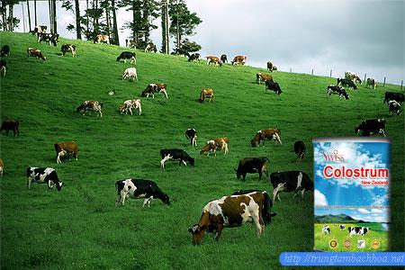 Cánh đồng khai thác sữa non colostrum new zealand của total swiss